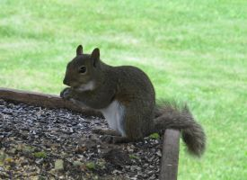 Gray Squirrel 2a by Windthin