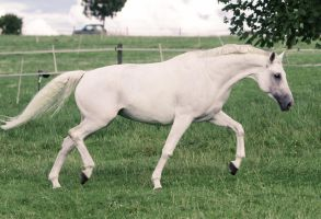 Beautiful Warmblood Mare Pasture Trot Stock by LuDa-Stock
