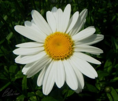 Ring a Ling Daisy by SDBlaine