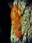 Limax Maximus by Cryel