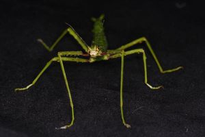 Stick Insect 1 by SylverLeopard