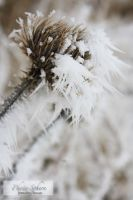 Thistle by Jenn-b-photography