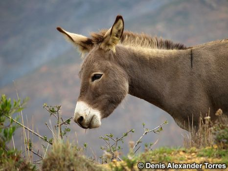 Donkey in the Venezuelan Andes by torreoso