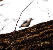 White-breasted Nuthatch 5 by tastybedsore