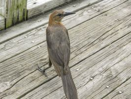 Grackle 2 by BlueMoon30
