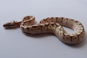 Baby Ball Python 14 by FearBeforeValor