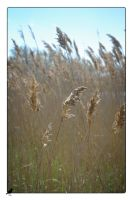 Grasses and reeds. by jennystokes