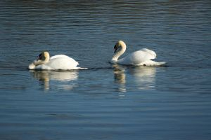 Swans .... by cog513