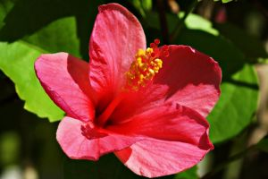 Hibiscus Flower Series 17 by a6-k