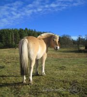 Norwegian Fjord Horse by Catnipers