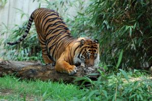 Sumatran Tiger: Stretch by The-Long-Shot