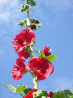 hollyhock 2 by ingeline-art