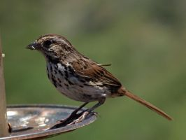 Song Sparrow 3 by photographyflower