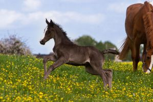 Black Warmblood Foal Bouncing on the Pasture by LuDa-Stock