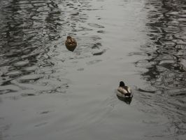 two ducks by florina23