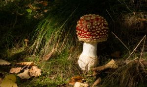 Early-Stage Fly Agaric by Danimatie