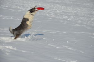 Cody with the frisbee by Johndoop