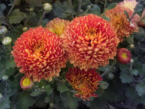 another chrysanthemum photo by fotokhajiit