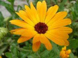 Calendula by goodmixer
