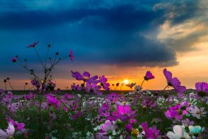 A Cosmos Dream by LinRuPhotography