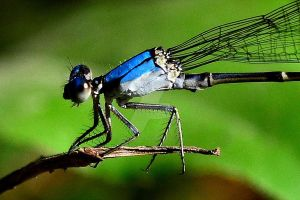 Blue Damselfly by AmbitiousArtisan