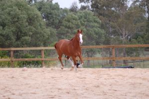 ASH canter front one leg on gr by Chunga-Stock