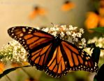 Butterfly II by RobyRidge