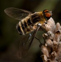 Bee Fly by biawak