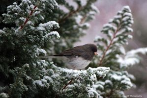 Winter Junco by sugartwins
