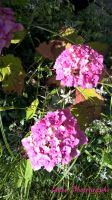 Pink sunlit flowers (WP 20150731 17 42 51 Pro) by xtails2