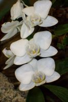 white beautiful orchid by ingeline-art
