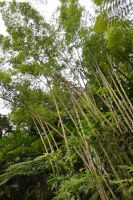 Bamboos in subtropicla forest of Martinique by A1Z2E3R
