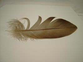 feather1_by akinna-stock by akinna-stock