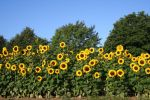 Sunflowers 02 by CD-STOCK by CD-STOCK