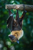 Flying Fox 01 by NellyGraceNG