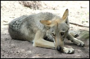 Wolf Resting in the Shade by mikewilson83