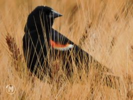 Red-Winged Blackbird by Tsisqua-Ugidali