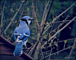 Blue Jay......... by gintautegitte69