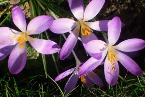 crocuses 2 by ingeline-art
