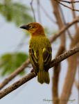 Principe golden weaver by MarcZingg