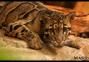 Clouded Leopard_6801 by MASOCHO