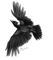 Flying hooded crow sketch by makangeni