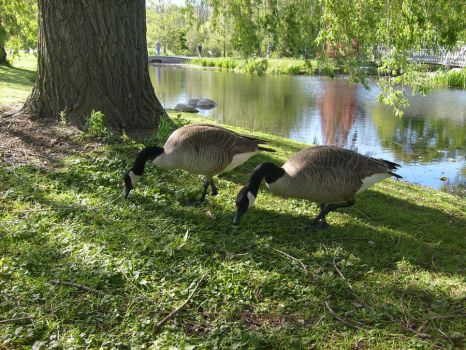 Canadian Geese by Icewarrior98