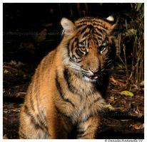 Baby Tiger Portrait by TVD-Photography