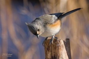 Tufted titmouse I by DGAnder