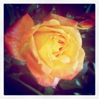 Bloomed Rose by XuchilbaraPH