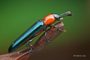 Lizard Beetle by melvynyeo