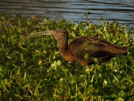 My First White Faced Ibis by Glacierman54
