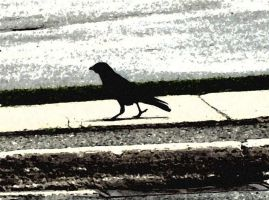 Struting Crow by TheBlonde1