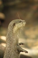Small-clawed Otter by crispglo